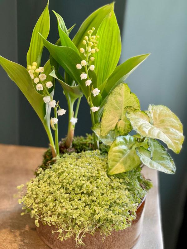 Composition de plantes comprenant du muguet, un syngonium et une helixine